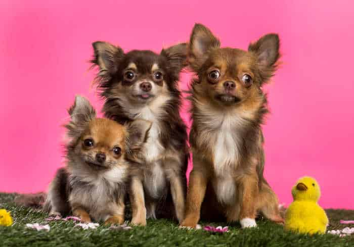 3 chihuahuas with Easter stuff
