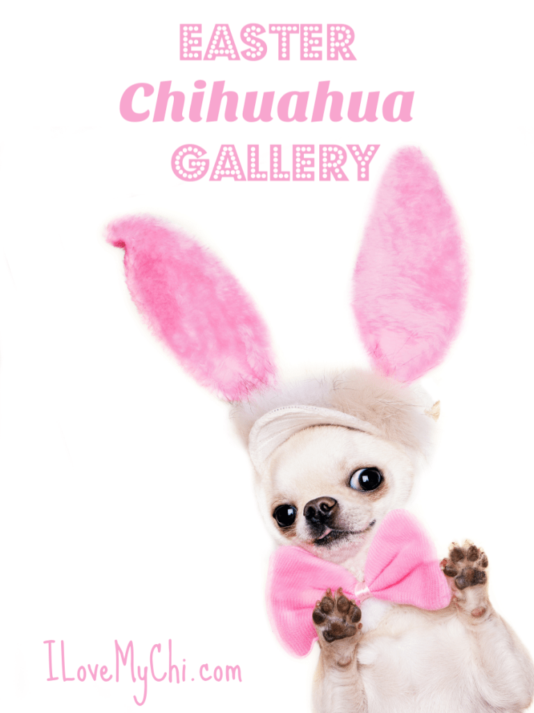 chihuahua with paws in air and wearing Easter bunny ears