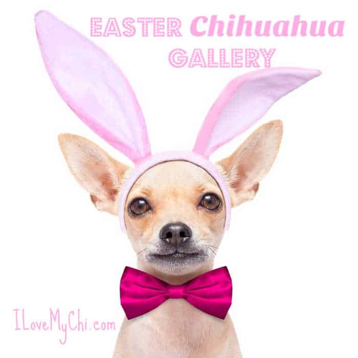 Chihuahua in Easter bunny ears