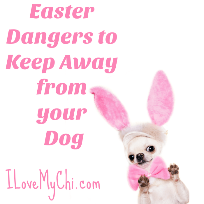 chihuahua wearing pink Easter bunny ears
