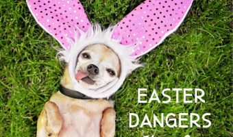 chihuahua laying in grass with Easter bunny ears