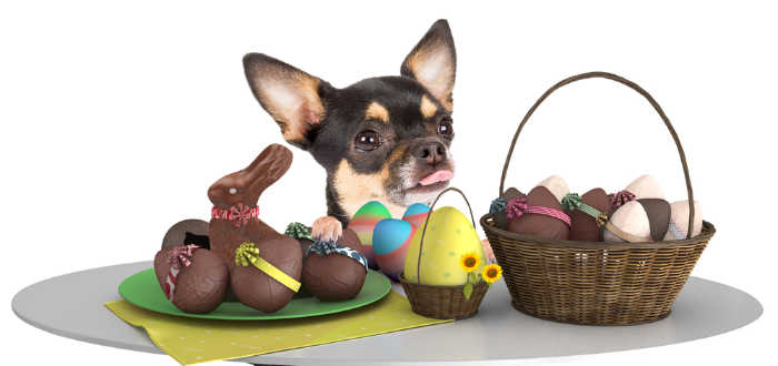 chihuahua with Easter basket with chocolate
