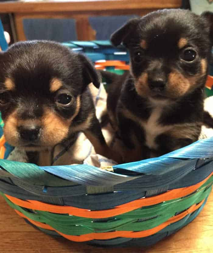 2 chihuahua puppies in a Easter puppies