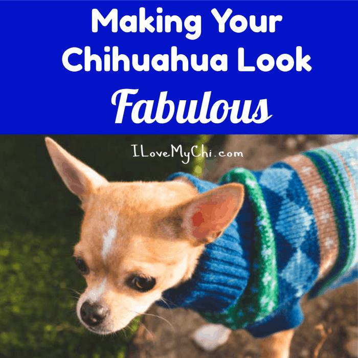 Making Your Chihuahua Look Fabulous