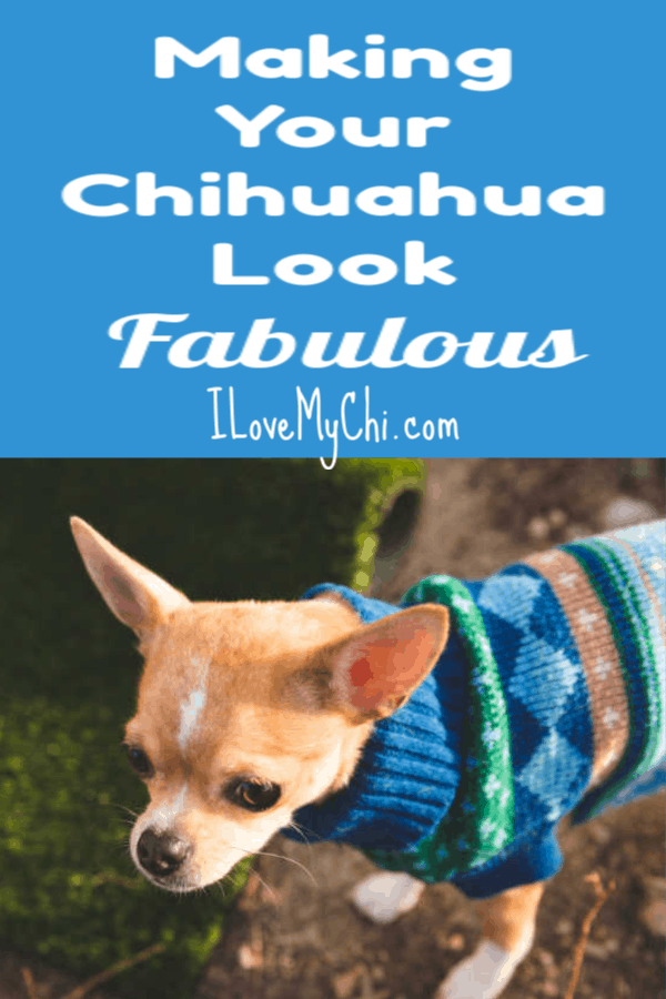Making Your Chihuahua Look Fabulous