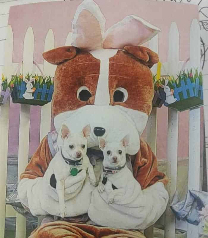 2 white chihuahuas sitting on Easter bunny's lap