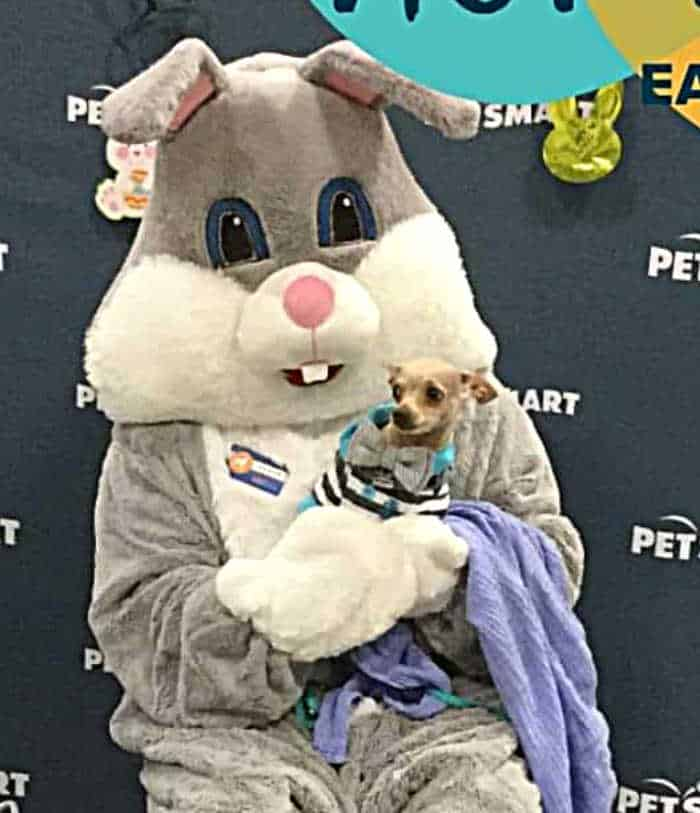 chihuahua sitting on Easter Bunny's lap