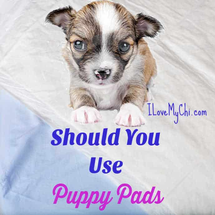 tiny chihuahua puppy on potty pad