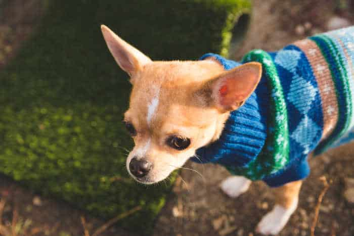 fawn chihuahua wearing blue sweater