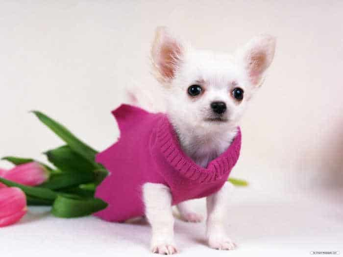 chihuahua with pink sweater