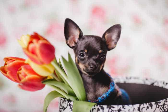 chihuahua with tulips