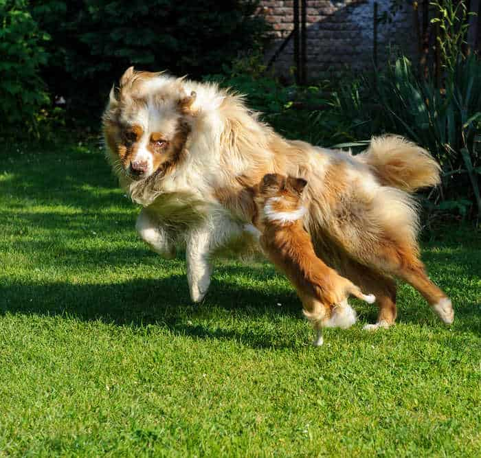 collie playing with chi on grass 700
