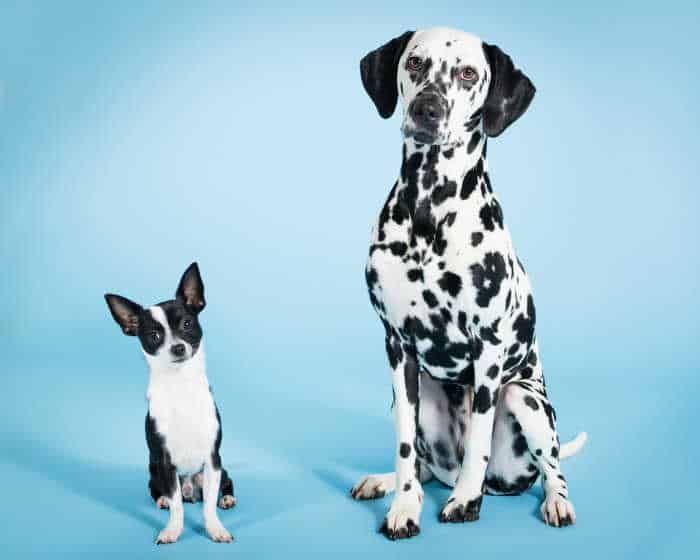 dalmation with black and white chi blue background
