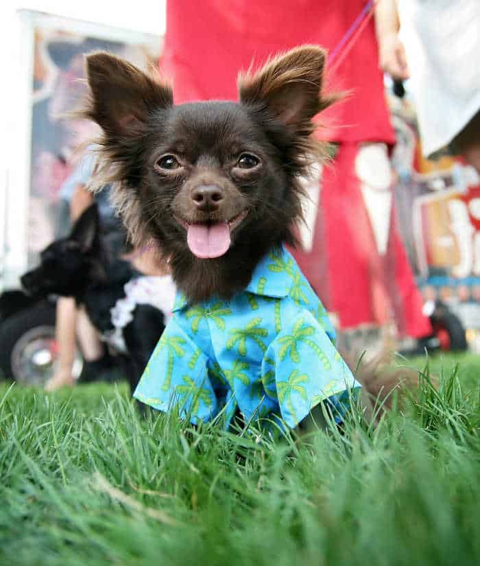 long hair chihuahua wearing blue shirt in grass