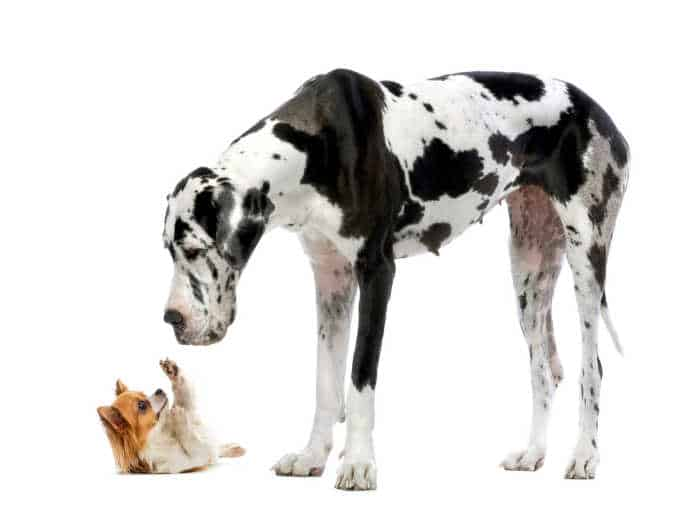 long hair chihuahua laying on back playfully Great Dane