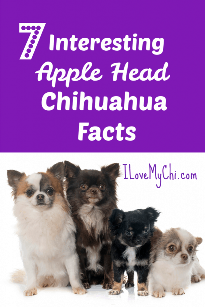 7 Interesting Apple Head Chihuahua Facts