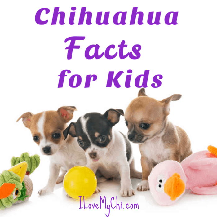 3 chihuahua puppies with dog toys
