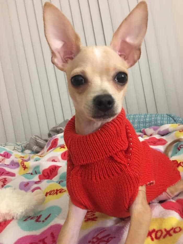 Charlie the chihuahua