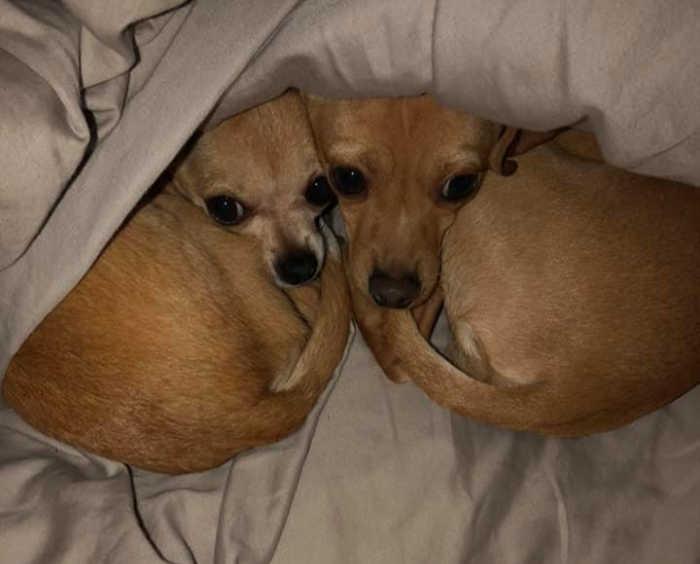 2 chihuahuas sleeping head to head