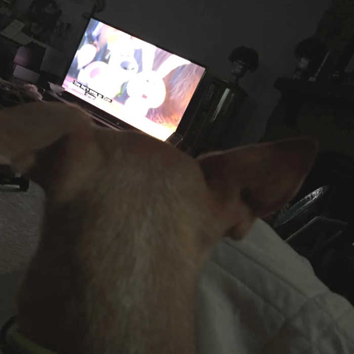 chihuahua watching a movie