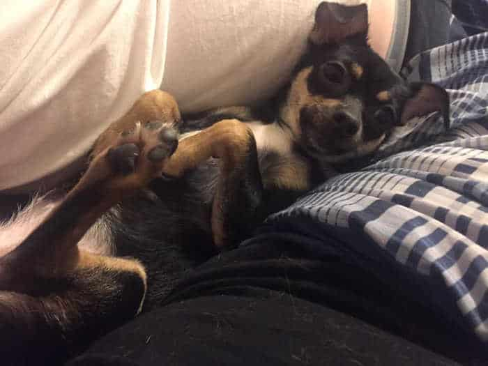 chihuahua laying on her back