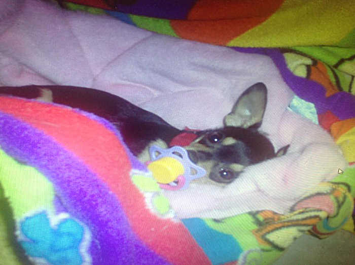 Febe the chihuahua with pacifier in her mouth