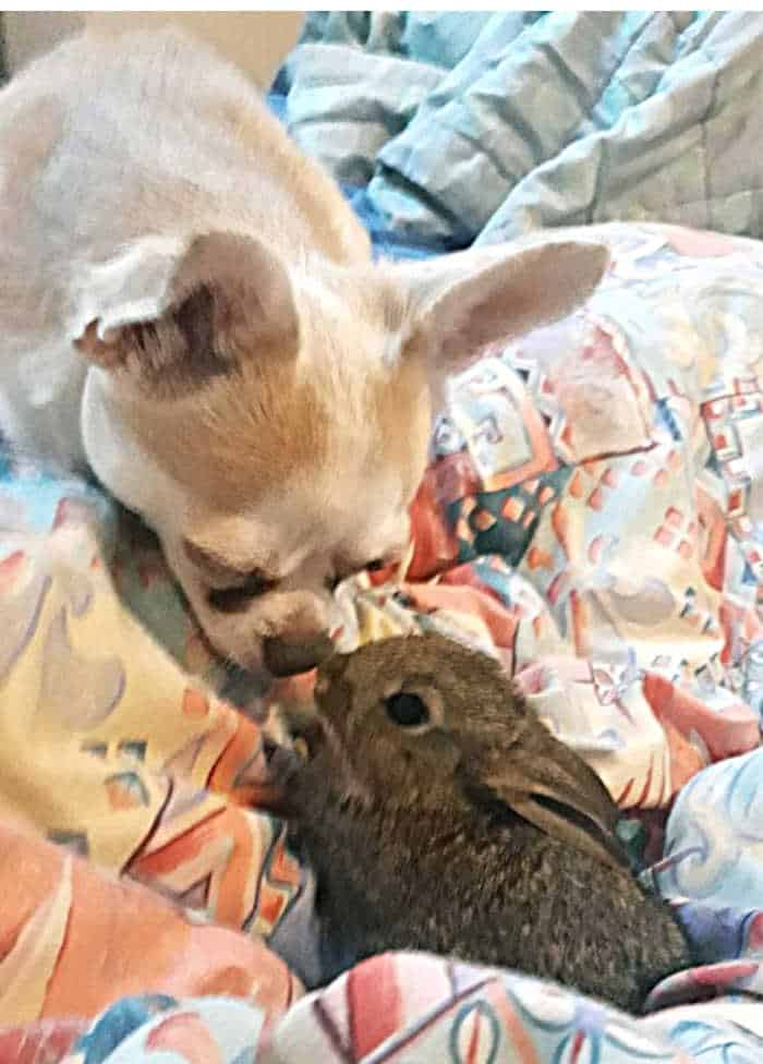 chihuahua and bunny