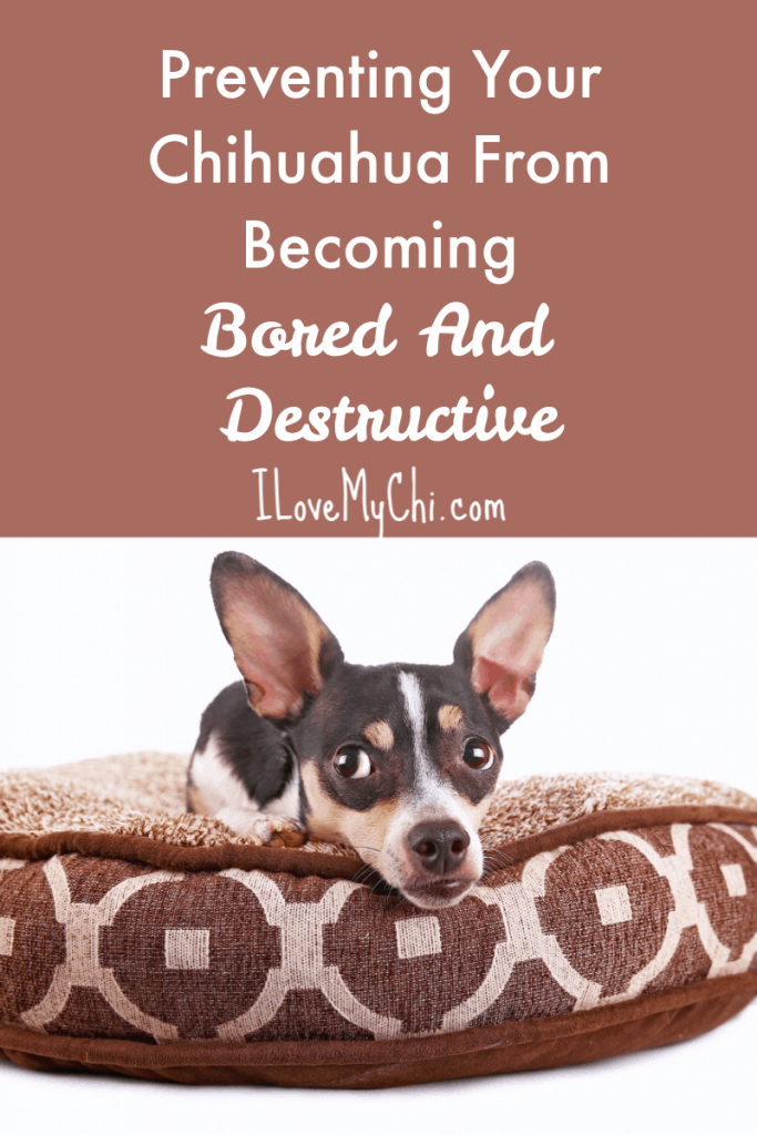 Preventing Your Chihuahua From Becoming Bored And Destructive