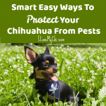 Smart Easy Ways To Protect Your Chihuahua From Pests