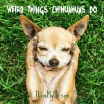 Weird Things Chihuahuas Do