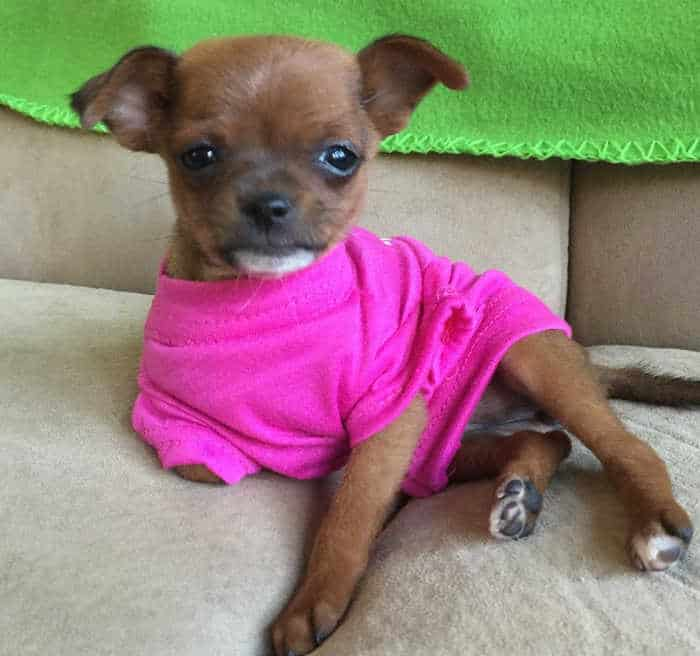 adorable puppy in hot pink shirt