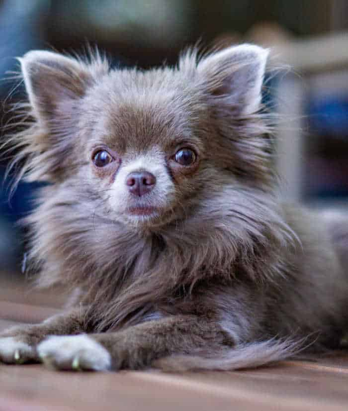 long hair blue applehead chihuahua