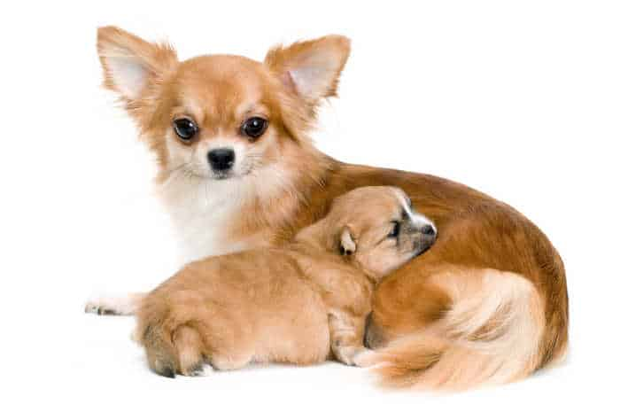 fawn chihuahua mother with puppy