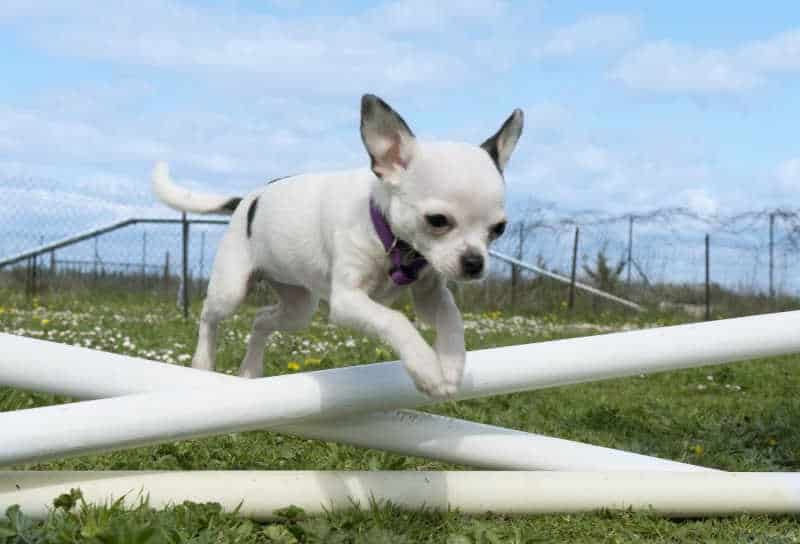 chihuahua jumping fence