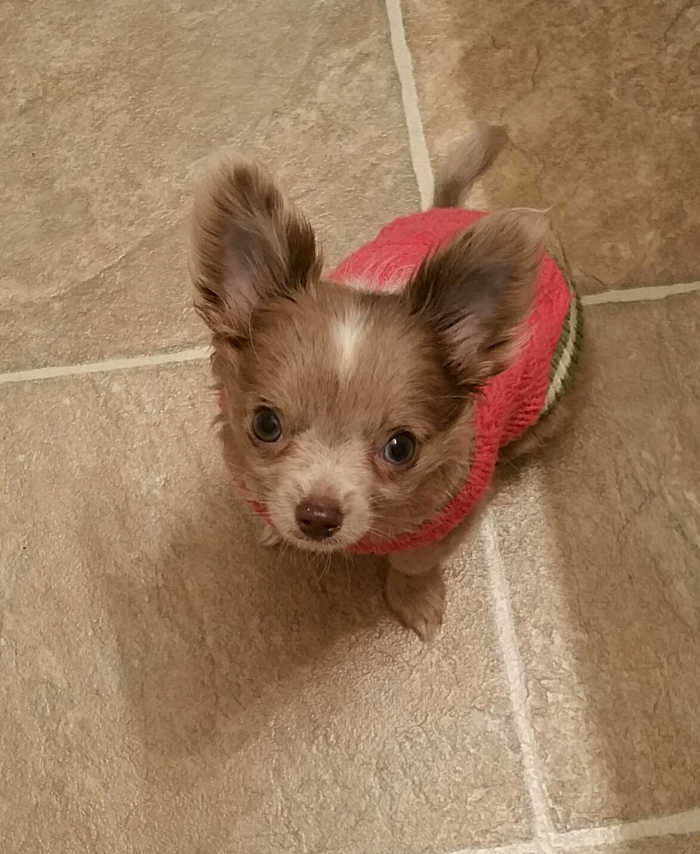 puppy looking up with sweater