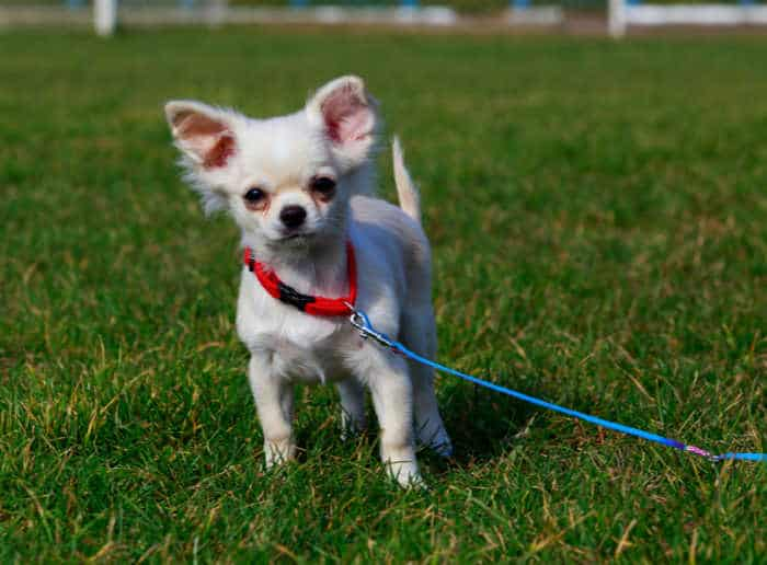 white chihuahua puppy on leash
