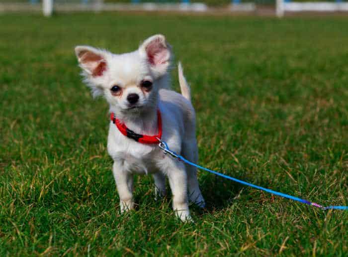 white chihuahua puppy on leash