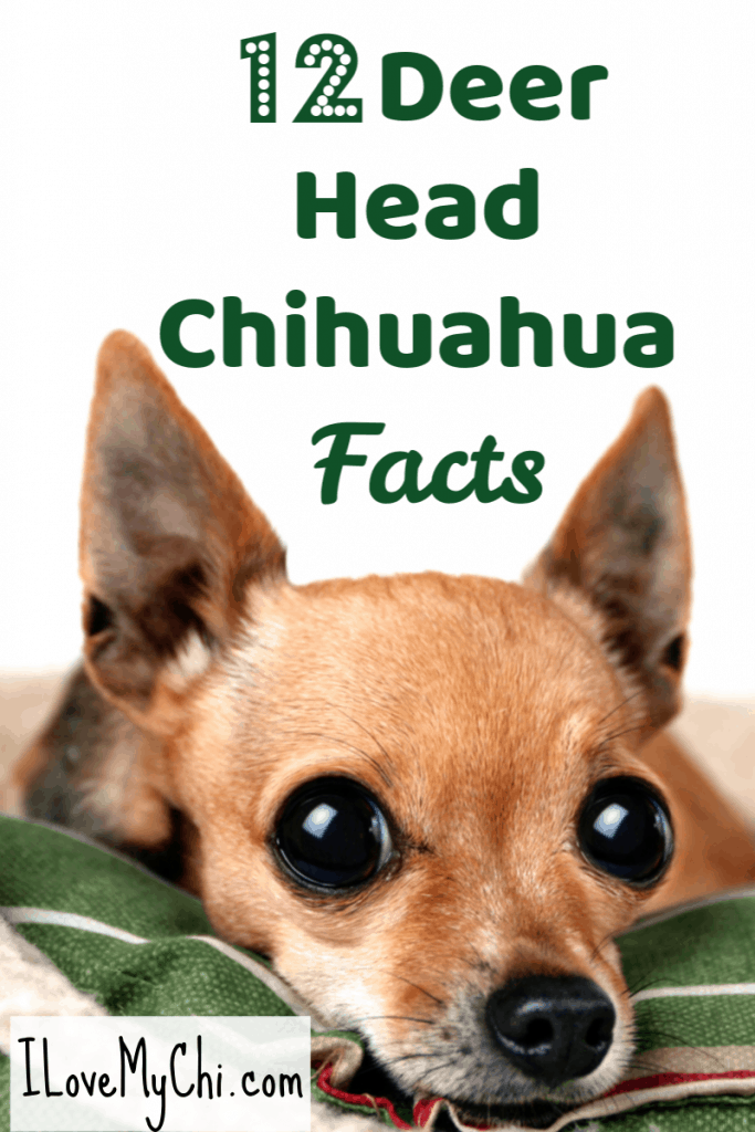 12 Deer Head Chihuahua Facts