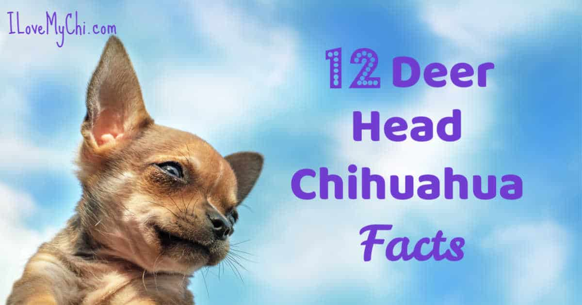Facts About Deer Head Chihuahuas I