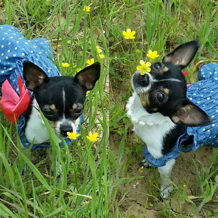 2 chihuahua dogs wearing dresses in grass and flowers