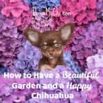 How to Have a Beautiful Garden and a Happy Chihuahua