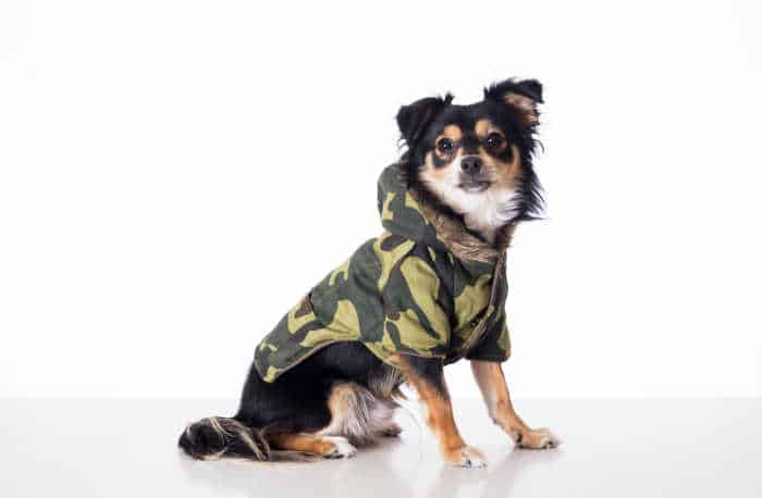 chihuahua in military jacket