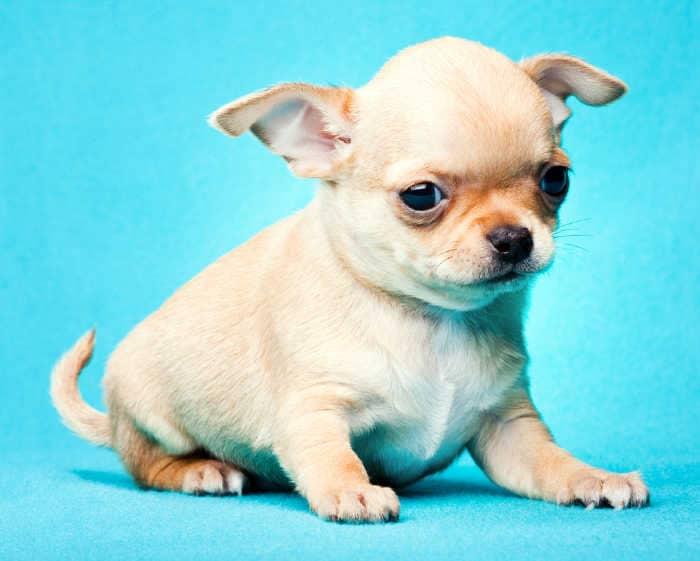cute cream chihuahua puppy