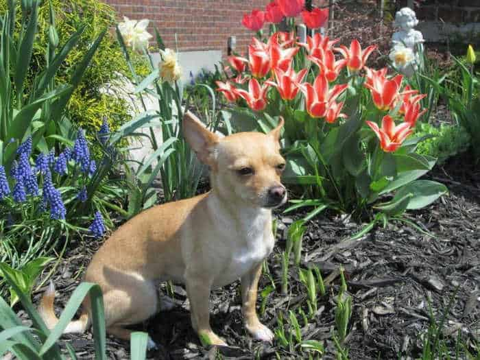 chihuahua sitting in flower bed