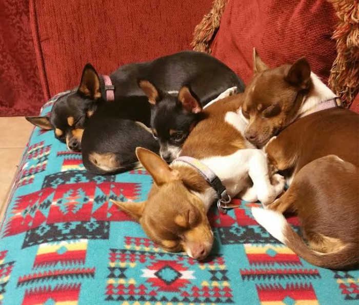 group of deer head chihuahuas