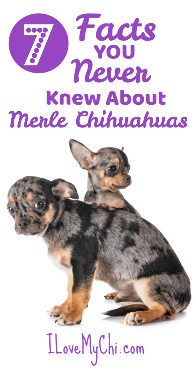 7 Facts You Never Knew About Merle Chihuahuas I Love My Chi