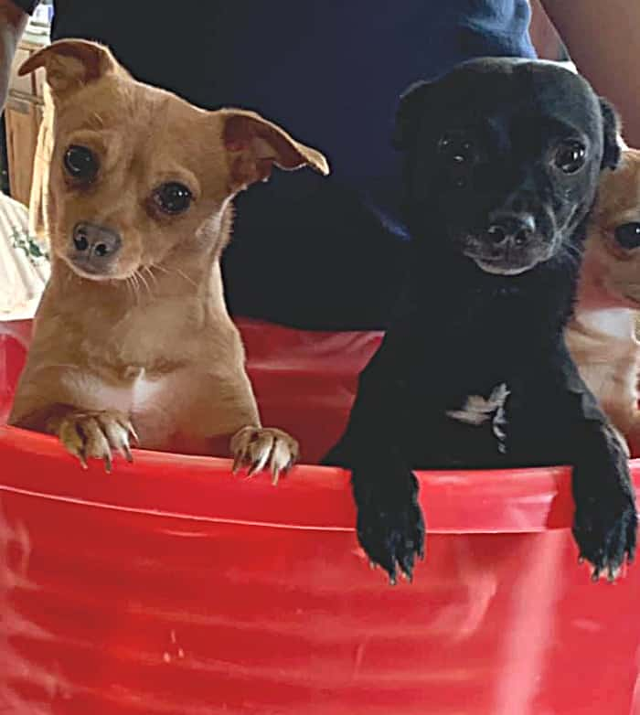 2 chihuahuas in a bucket
