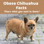 Obese Chihuahua Facts