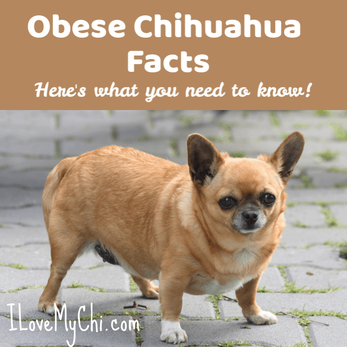 overweight fawn chihuahua dog