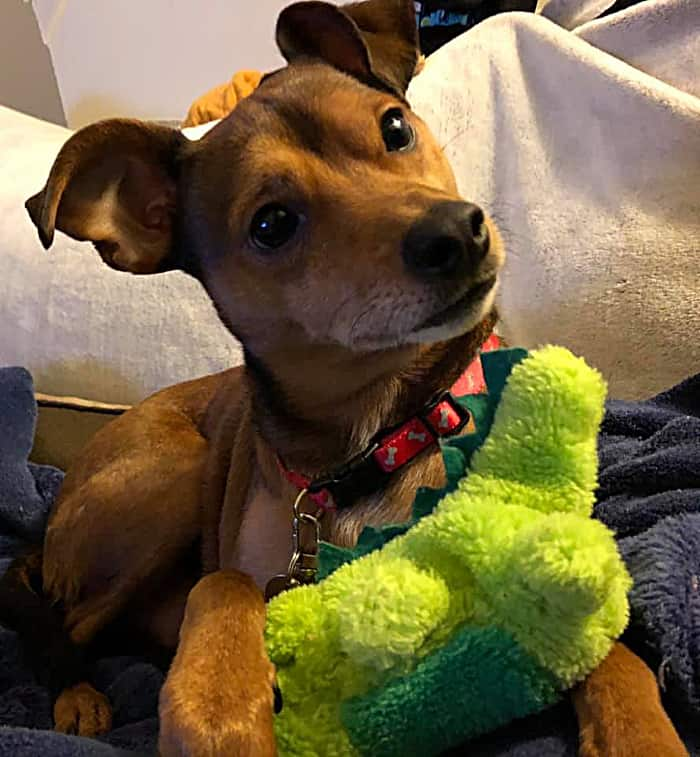 red chihuahua with toy